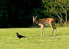 Deer and a crow.