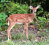 Deer. Missouri Ozarks.