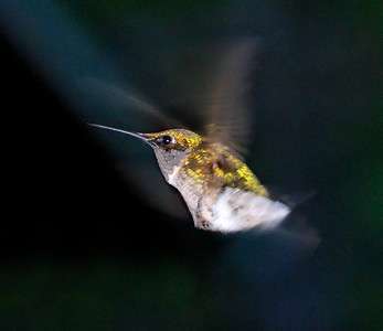 Humming Bird.  Missouri.