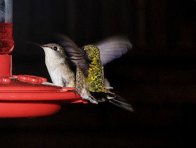 Humming Birds. Southern Missouri. USA