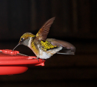 Humming Bird. Southern Missouri. USA