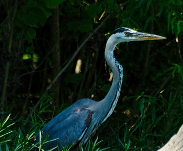 Blue Heron on the Current River.