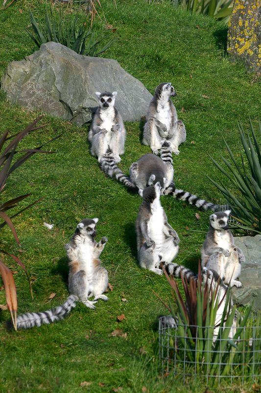 Ring-Tailed Lemurs soaking up the rays