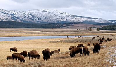 Wild Bison.  Yellowstone in October.