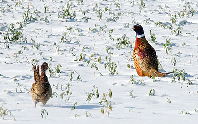 Pheasants.  Wyoming in October.