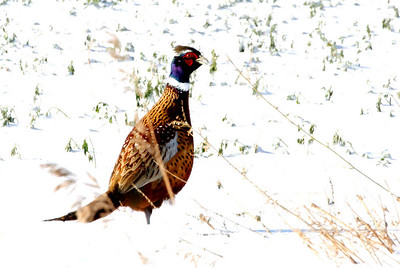 Pheasant.  Wyoming in October.