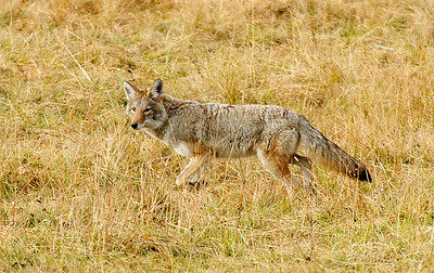Wild Coyote.  Yellowstone in October.