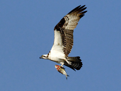 Osprey with Fresh Prey.  Current River, southern Missouri.