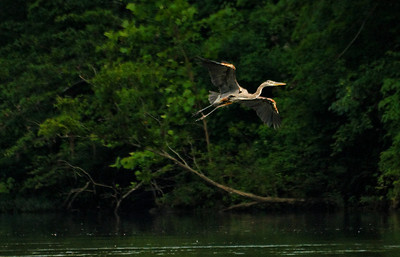 Blue Heron in Flight  Current River, southern Missouri.
