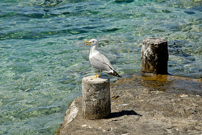 Sea Gull. Croatia.