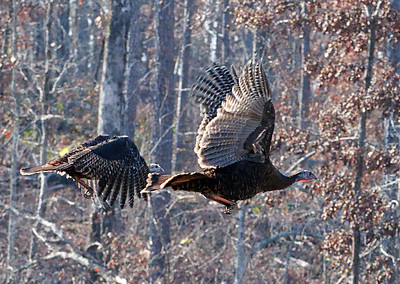 Turkey in Flight.  Southern Missouri.