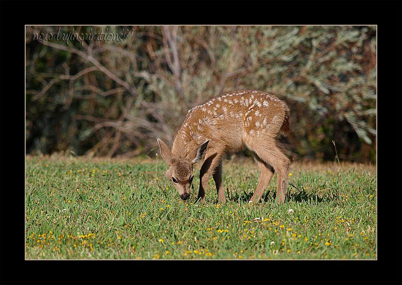 Cordelia Deer