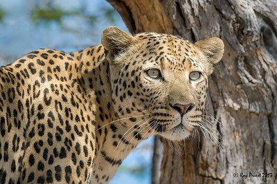 Leopard Namibia Africa