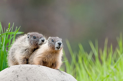 Yellow-bellied  Marmots Lac le Jeune, B.C. Canada