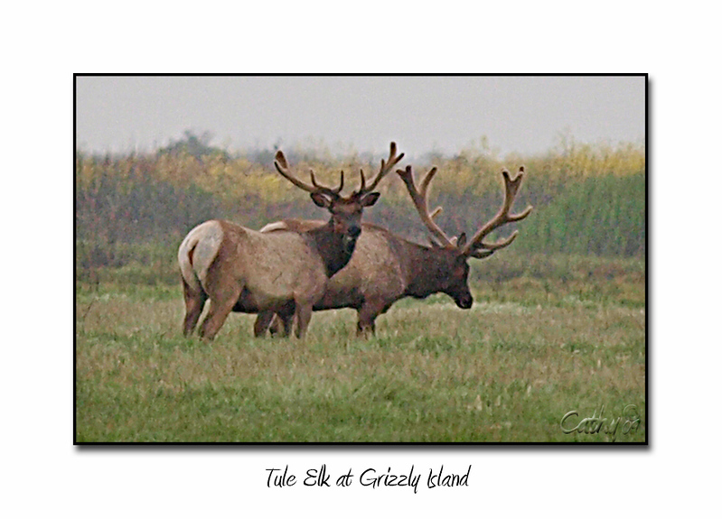 Grizzly Island Elk