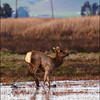 Tule Elk playing hopscotch