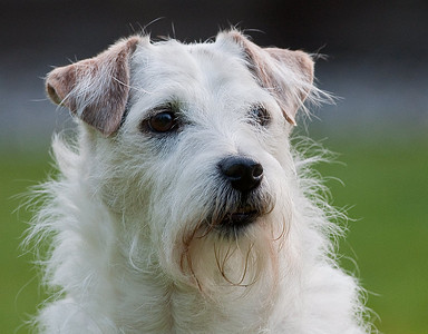 Willie, my Male Jack Russell terrier