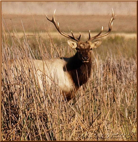 Grizzly Island Tule Elk