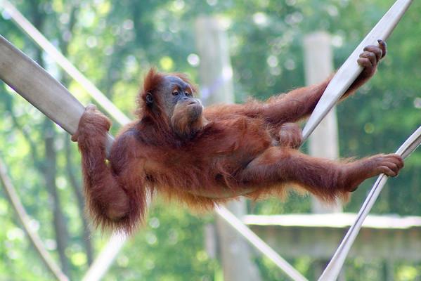 Sumatran Orangutan. Zoo Atlanta, August 2009.  © 2009 Joanne Milne Sosangelis. All rights reserved.