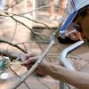 """Budgie"" Budgerigar (or Parakeet) being fed by Chris Brunner. <br /> Zoo Atlanta, August 2009. <br /> © 2009 Joanne Milne Sosangelis. All rights reserved."