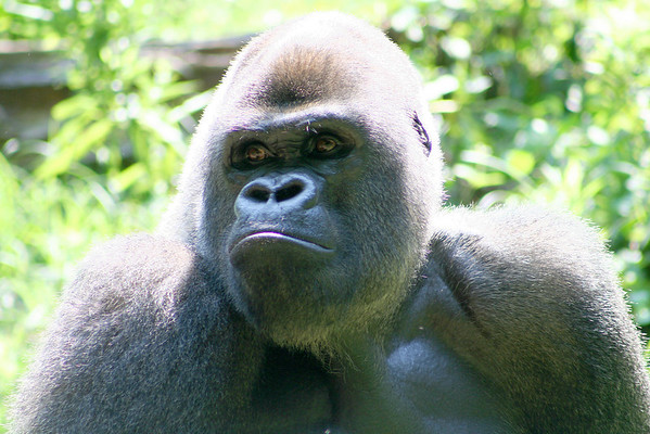 Gorilla. Zoo Atlanta, August 2009. <br /> © 2009 Joanne Milne Sosangelis. All rights reserved.