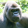 Gorilla. Zoo Atlanta, August 2009. <br /> © 2009 Joanne Milne Sosangelis. All rights reserved.