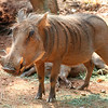 Warthog. Zoo Atlanta, August 2009. <br /> © 2009 Joanne Milne Sosangelis. All rights reserved.