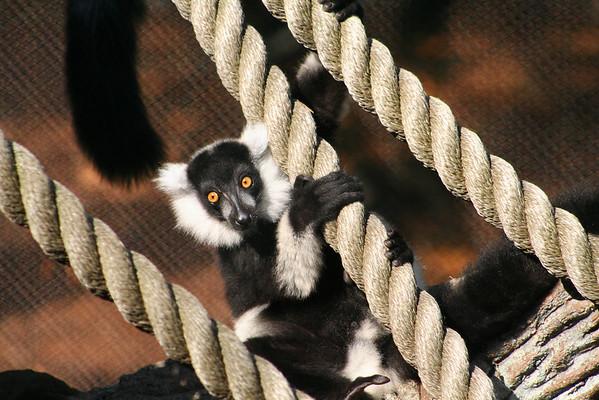 Black and White Ruffled Lemur. Zoo Atlanta, August 2009. <br /> © 2009 Joanne Milne Sosangelis. All rights reserved.