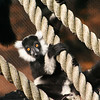 Black and White Ruffled Lemur. Zoo Atlanta, August 2009. <br /> © 2009 Joanne Milne Sosangelis. All rights reserved.