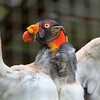 King Vulture. Zoo Atlanta, August 2009. <br /> © 2009 Joanne Milne Sosangelis. All rights reserved.