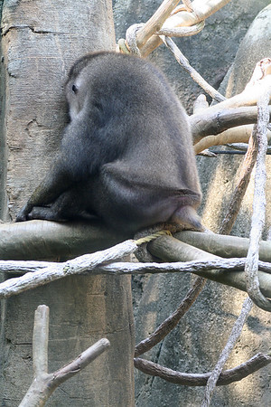 A sleeping Drill Monkey.Zoo Atlanta, August 2009. <br /> © 2009 Joanne Milne Sosangelis. All rights reserved.