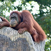 Sumatran Orangutan. Zoo Atlanta, August 2009. <br /> © 2009 Joanne Milne Sosangelis. All rights reserved.