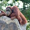 Sumatran Orangutan. Zoo Atlanta, August 2009. <br /> © 2009 Joanne Milne Sosangelis. All rights reserved.