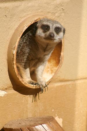 Meerkat. Zoo Atlanta, August 2009.  <br /> © 2009 Joanne Milne Sosangelis. All rights reserved.