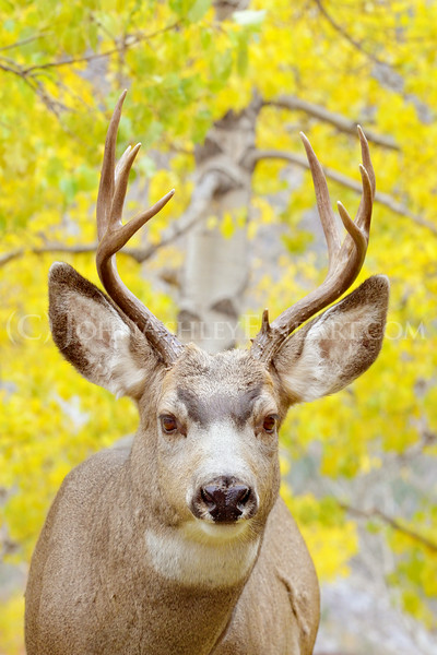 """Male Muley"""