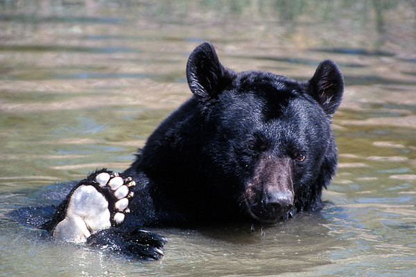 #154 Swimming Black Bear