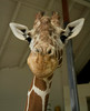 Giraffe Inquisitor