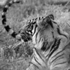Tiger's Tail, 1977<br /> Black and White Film Photography