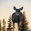 Sundown Deer