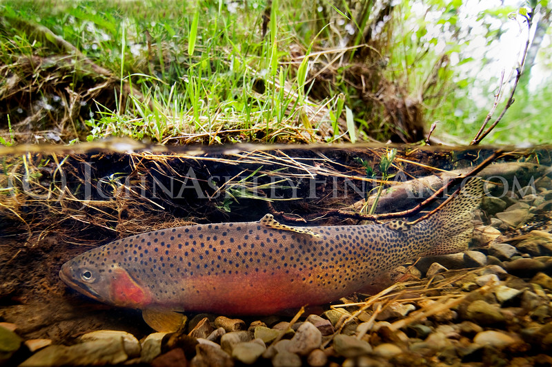 """""""Resting Trout."""""""