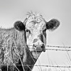 Curious Cow - Kansas