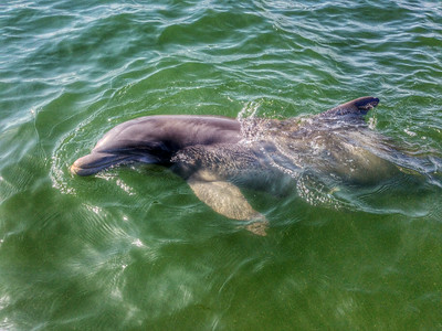Dolphin On The May River