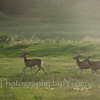 Three buck Mule Deer in velvet run through a field as the sun gets low.