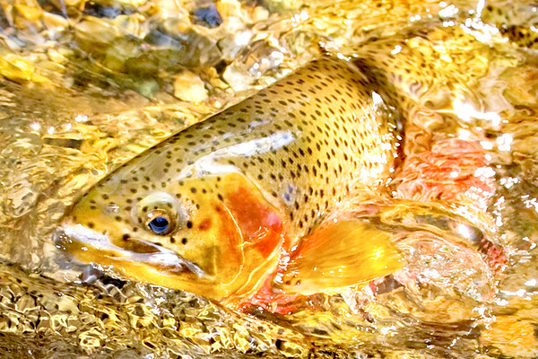 """""""Rising Trout"""""""