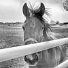 Curious Horse - Missouri