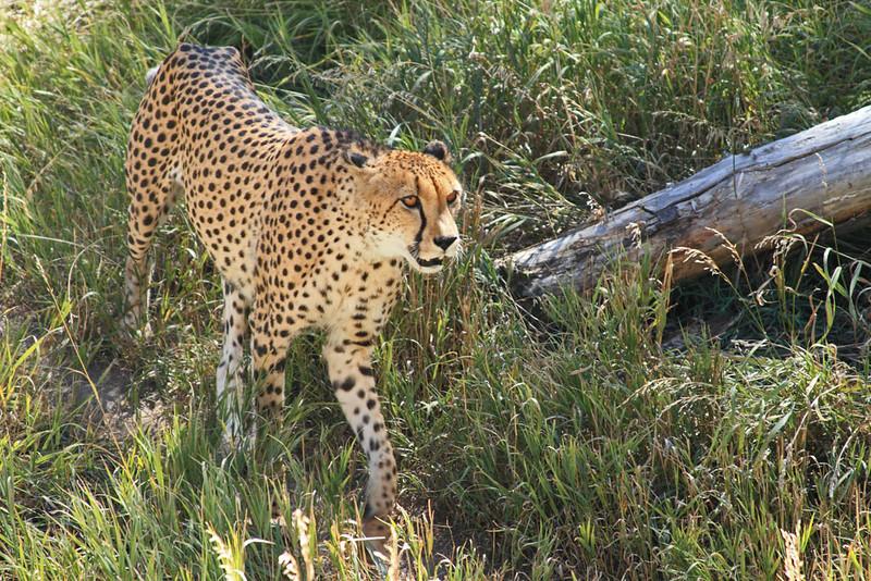 Pacing Cheetah