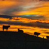 Cattle Sunset Silhouette