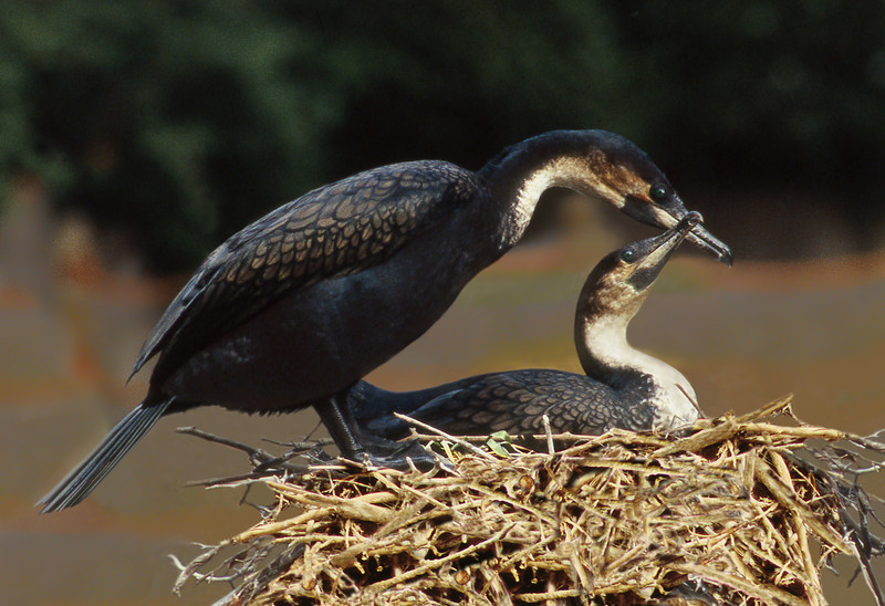 Cormorants Nesting, 1999<br /> Film Photography