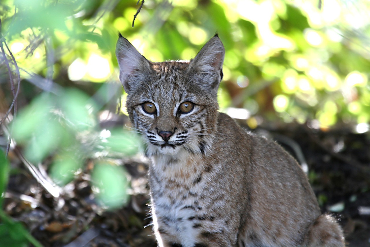 A 3 month old Bobcat Cub watching me with great curiosity. I was thrilled she sat there and let me snap away before answering the annoyed call of her distant mother.