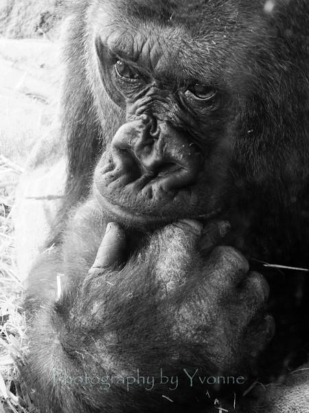 Gorilla, Denver Zoo 2012